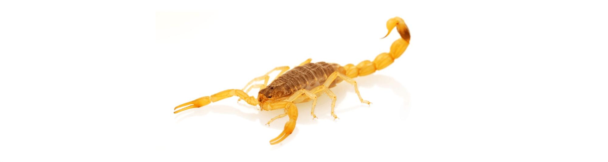 escorpiao